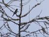 Bird of Vaud: Redwing