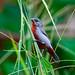 Peru: Chestnut-bellied Seedeater by spiderhunters