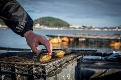 Torigai clam (cockle) farming.
