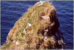 Sirálykolóniák a part menti sziklákon (Anarstapi)