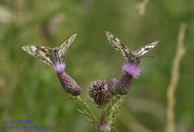 marbled white butterfly-2