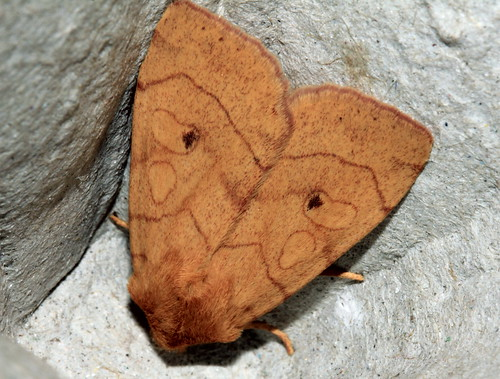 2313 Angle-striped Sallow  21649