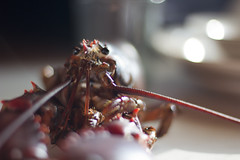 Portrait of a Maine Lobster