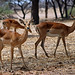 Small photo of Impala: Aepyceros melampus (Female).