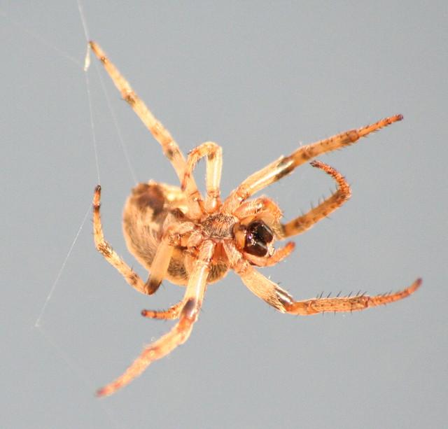 orb-weaver spider 08