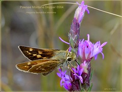 Pawnee montane skipper butterfly photography by Ron Birrell;DSC_6564