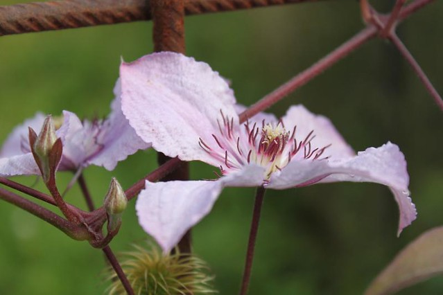 20120706_4506_pale-purple-clematis_Small