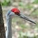Small photo of Sandhill Crane (Grus canadensis)