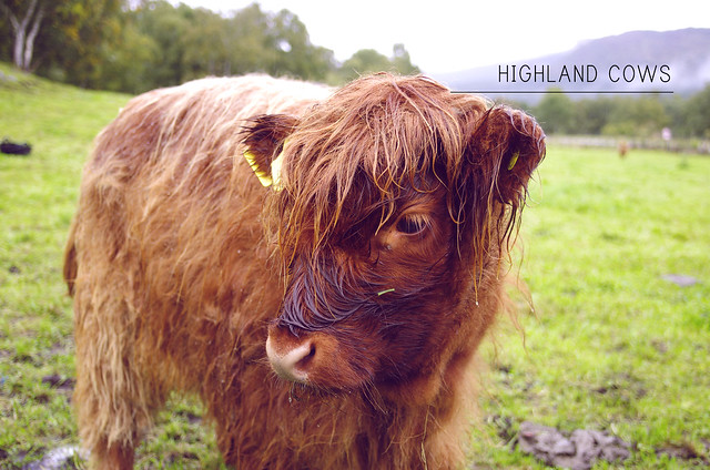 Highland Cows | Scotland