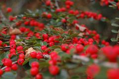 evergreen(0.0), acerola(0.0), flower(0.0), crataegus pinnatifida(0.0), rowan(0.0), rose hip(0.0), hawthorn(0.0), lingonberry(0.0), autumn(0.0), shrub(1.0), berry(1.0), leaf(1.0), red(1.0), plant(1.0), flora(1.0), produce(1.0), fruit(1.0), food(1.0), aquifoliaceae(1.0), aquifoliales(1.0),