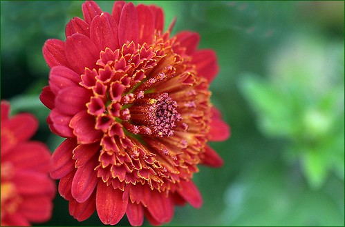 Red chrysanthemum (2013)