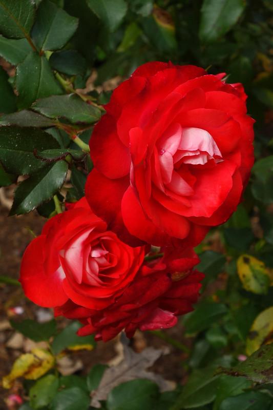 """Rosa """"Korpunbo"""" Mandarin Ice"""