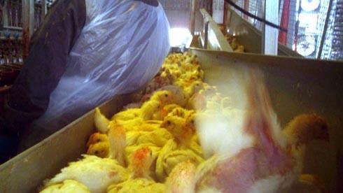 זוגלובק - תרנגול מושלך ממסוע