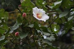 司馬庫斯沿途的山芙蓉。