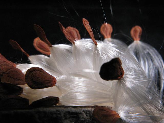 Milkweed 5