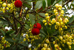 shrub(0.0), berry(0.0), plant(0.0), produce(0.0), food(0.0), rowan(0.0), evergreen(1.0), flower(1.0), yellow(1.0), strawberry tree(1.0), flora(1.0), fruit(1.0),