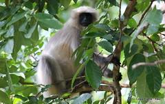 sloth(0.0), three toed sloth(0.0), capuchin monkey(0.0), spider monkey(0.0), white-headed capuchin(0.0), macaque(0.0), animal(1.0), branch(1.0), monkey(1.0), mammal(1.0), fauna(1.0), old world monkey(1.0), new world monkey(1.0), jungle(1.0), wildlife(1.0),