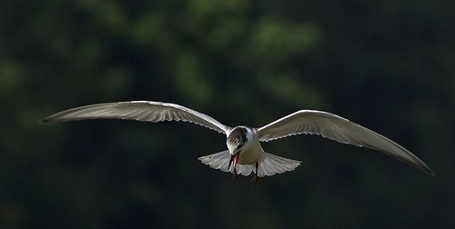 Whiskered Tern @ Mangalajodi