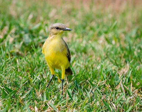 southamerica birds location aruba carribbean tyrannidae machetornisrixosa cattletyrant tyrantflycatcher gianfabbri ebird gfabbri