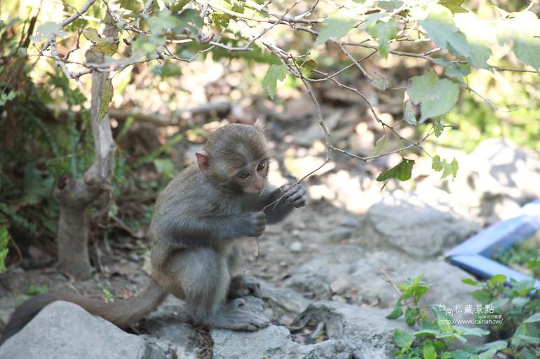 台南私藏景點-南化烏山獼猴 (21)
