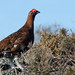 Male Red Grouse in the Peak District
