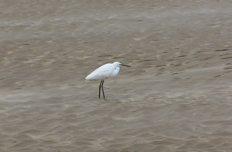 P1060380 - Little Egret, Burry Port