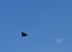 DSC_2604-Raven