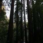 Walking among the redwoods