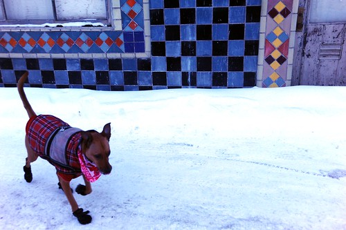 Rosie trotting over to attend Mass, in front of the old Alaska Tile building, wearing her red winter outfit, pink hearts scarf, plaid Christmas jacket, red sweater, and black booties, looking colorful in the snow, downtown Anchorage, Alaska, USA by Wonderlane