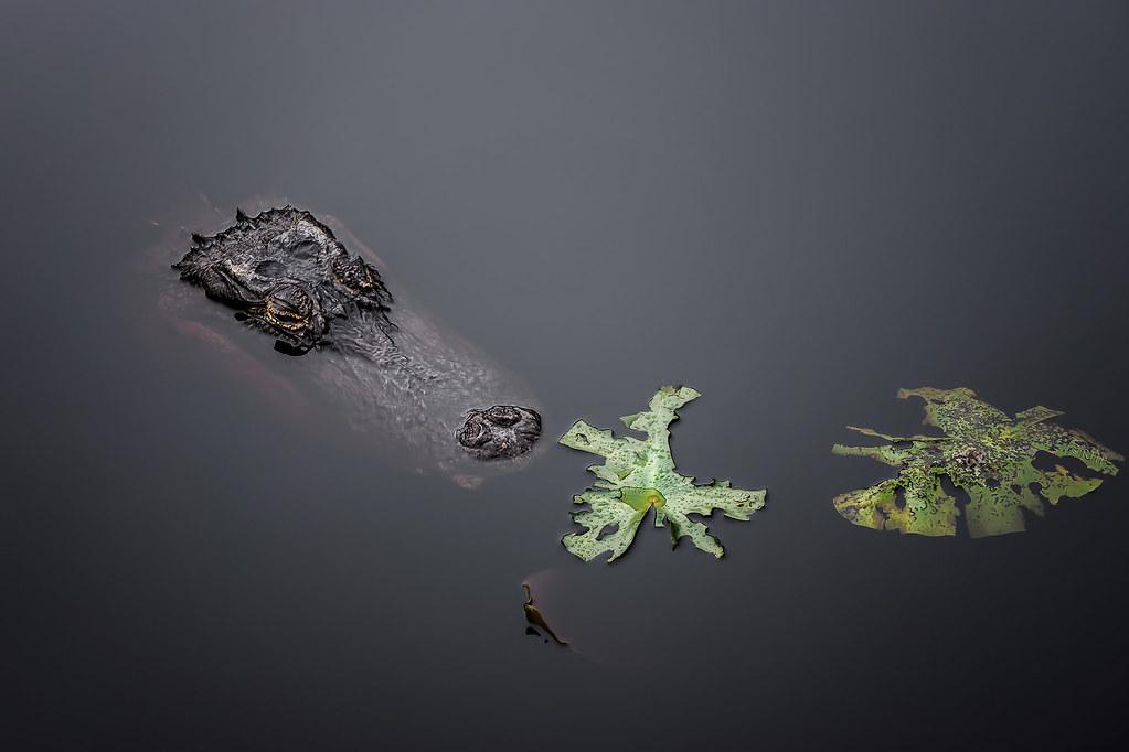 'Gator, Resting