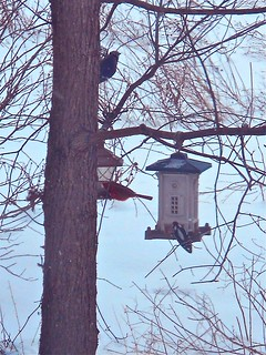 blue jay,cardinal,and downy woodpecker