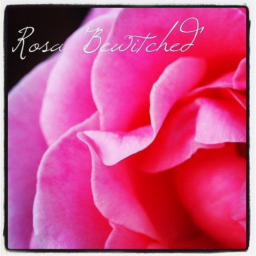 Rosa 'Bewitched'