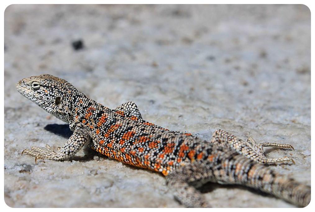 salar de atacama chile lizard