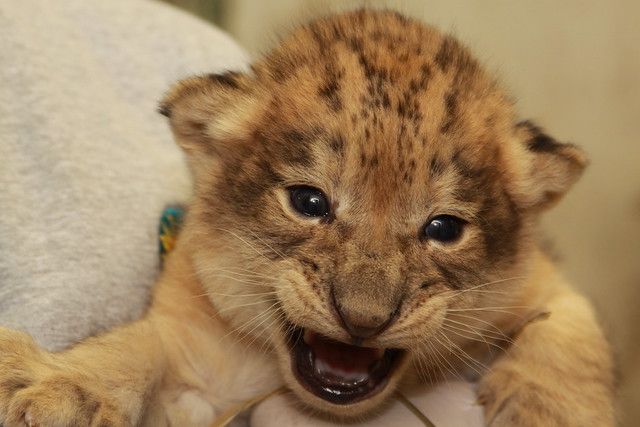 Lion cubs weighed at the national zoo flickr photo sharing