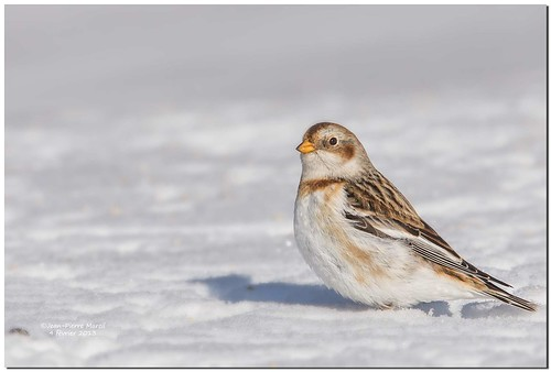 Bruant des neiges - Snow Bunting - Cap Tourmente - 5DM3-5837