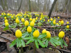 Vintergäck - Winter aconite