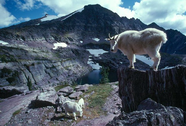 Mountains goats in Glacier National Park by CC user usgeologicalsurvey on Flickr