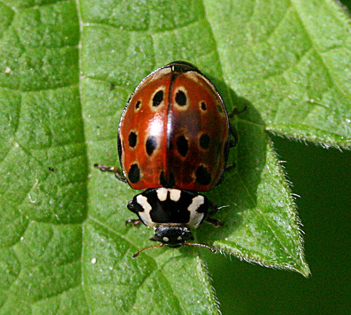Eyed Ladybird Anatis ocellata Tophill Low NR, East Yorkshire May 2014