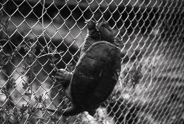Turtle on a Fence II