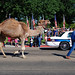 Because No 4th of July Parade Would Be Complete Without a Camel... by Roadsidepictures