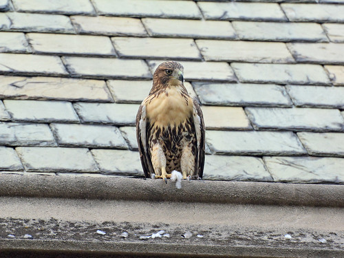 Juvenile Cathedral Hawk - 4001