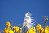 Série com a Garça-branca-grande, no topo do Ipê-Amarelo - Series with the Great Egret (Casmerodius albus, sin. Ardea alba) at the top of the Trumpet tree, Golden Trumpet Tree (Tabebuia [chrysotricha or ochracea]) - 02-09-2015 - IMG_8619