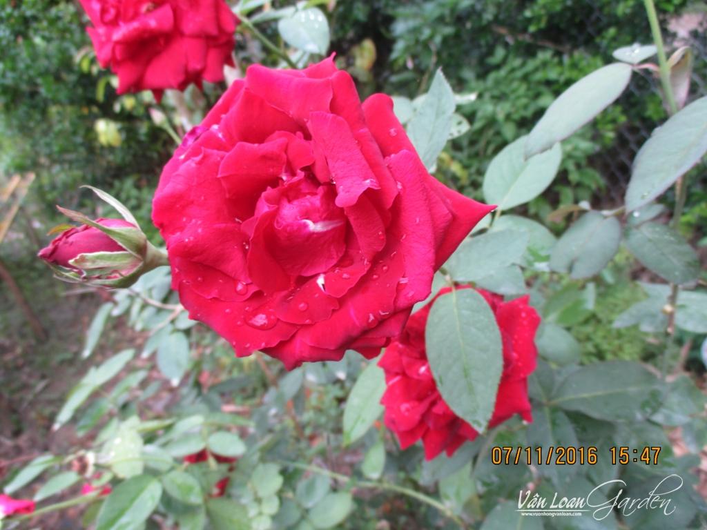 hoa hong nhung sa dec (3)-vuonhongvanloan.com