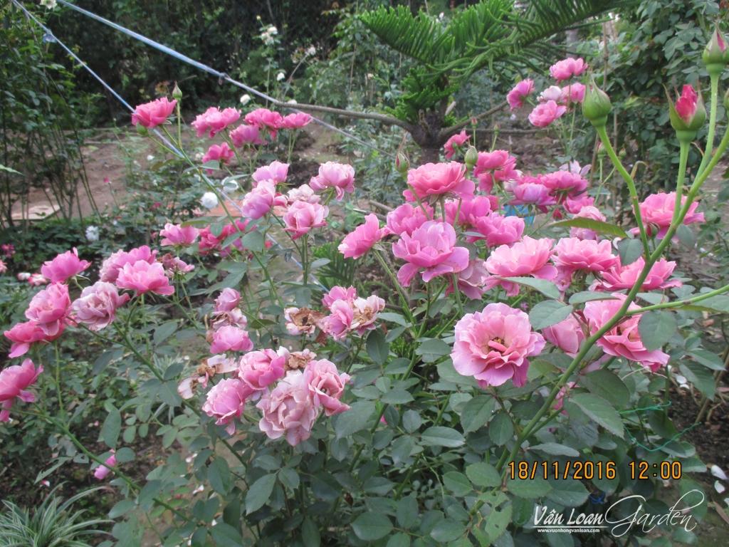 1 khóm hoa hồng Aoi tại vườn