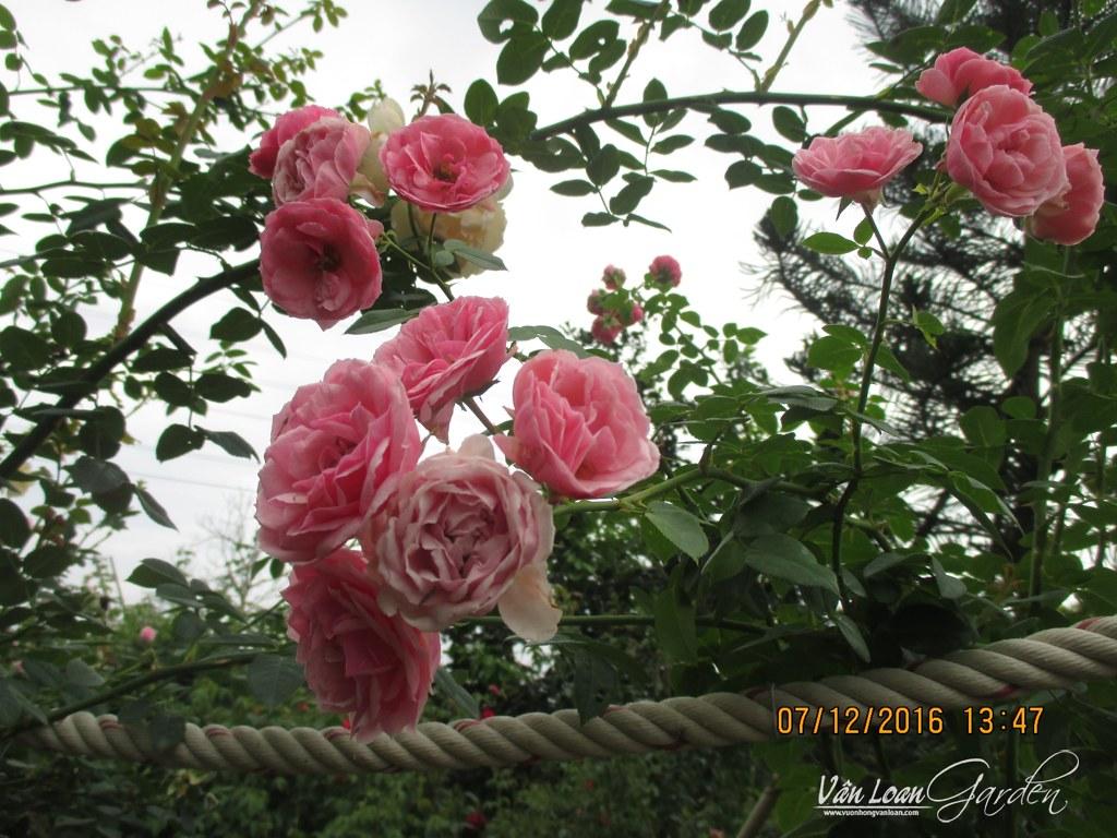 pomponella rose hoa hong leo-vuonhongvanloan.com
