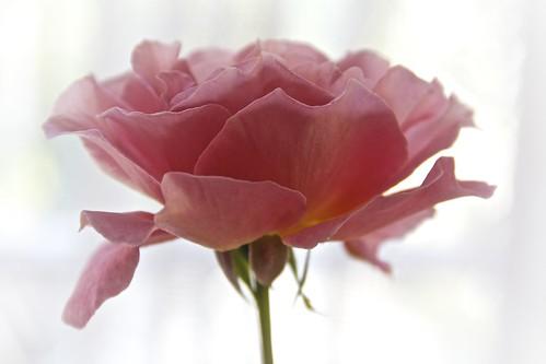 Roses Last Days