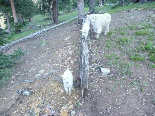 Baby goatlets!
