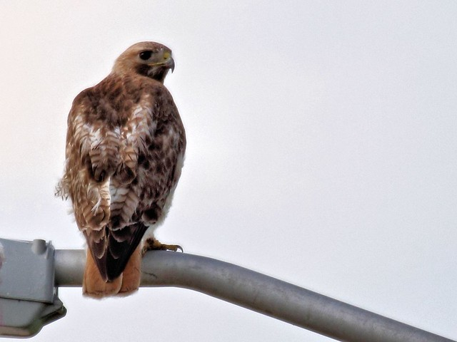 Red-tailed hawk 20130707