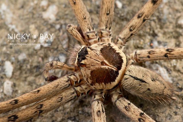 Huntsman Spider (Heteropoda sp.) - DSC_2035