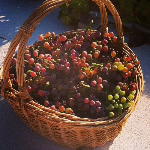 '13 grapes